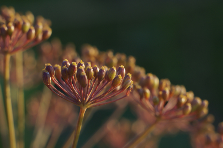 Dill plant with seeds macro