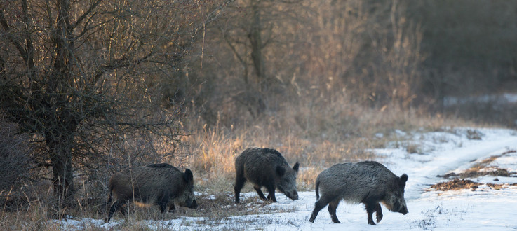 Small group of wild boars (sus scrofa ferus) walking on snow in forest. Wildlife in natural habitat